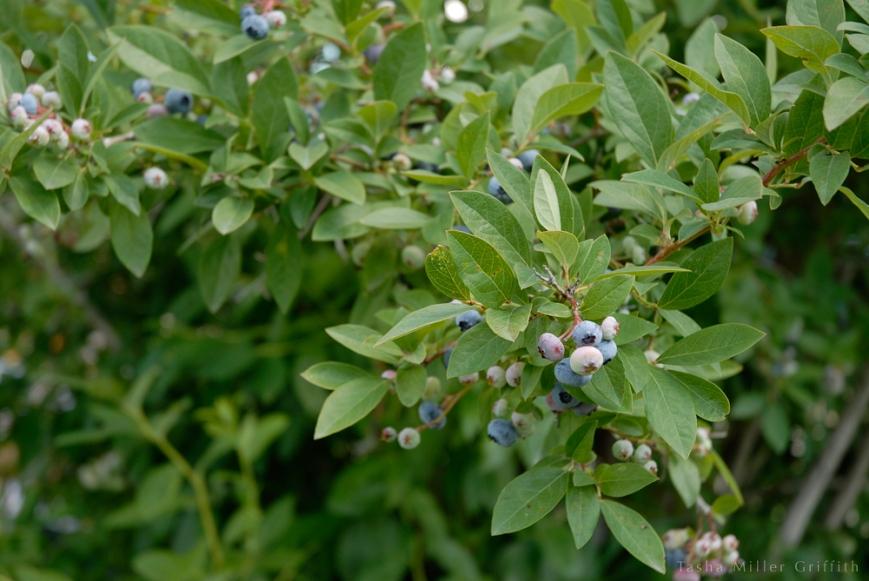 blueberry picking 2
