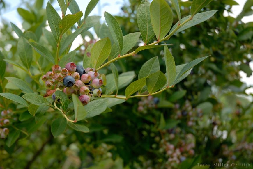 blueberry picking 3