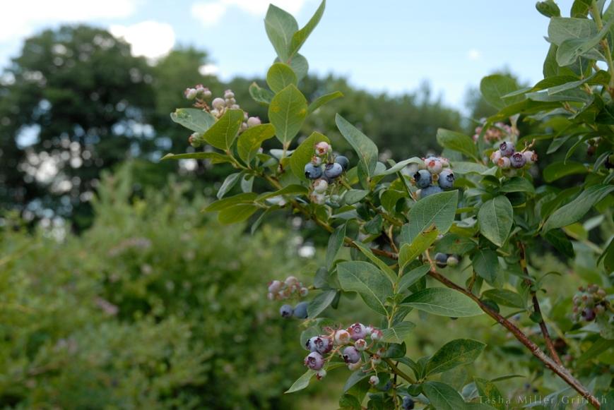 blueberry picking 4