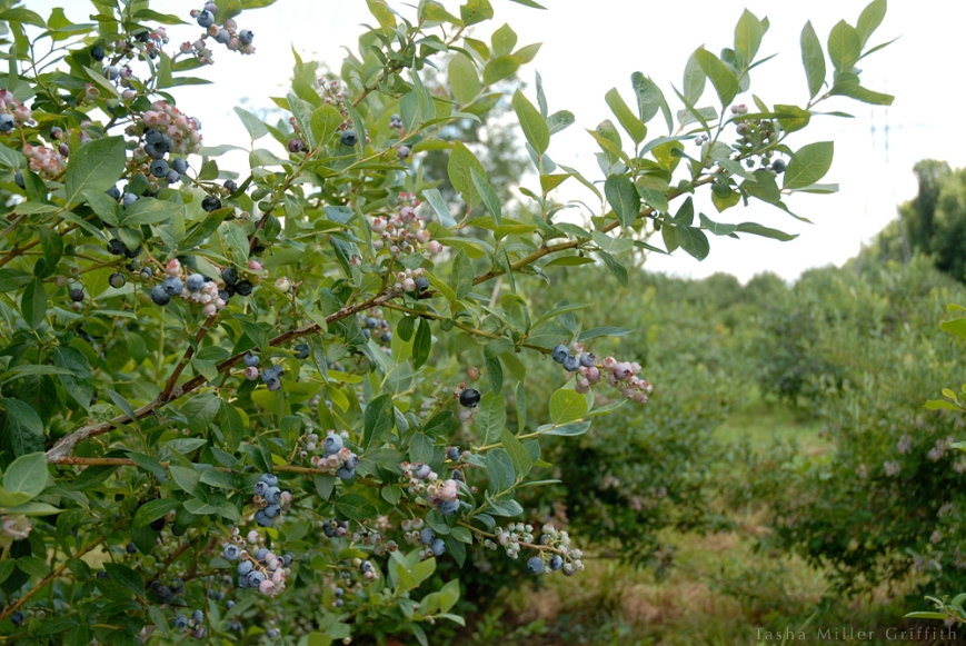 blueberry picking 5