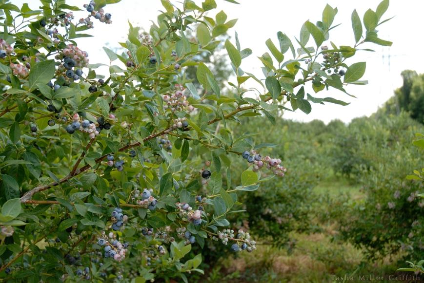 blueberry picking 5