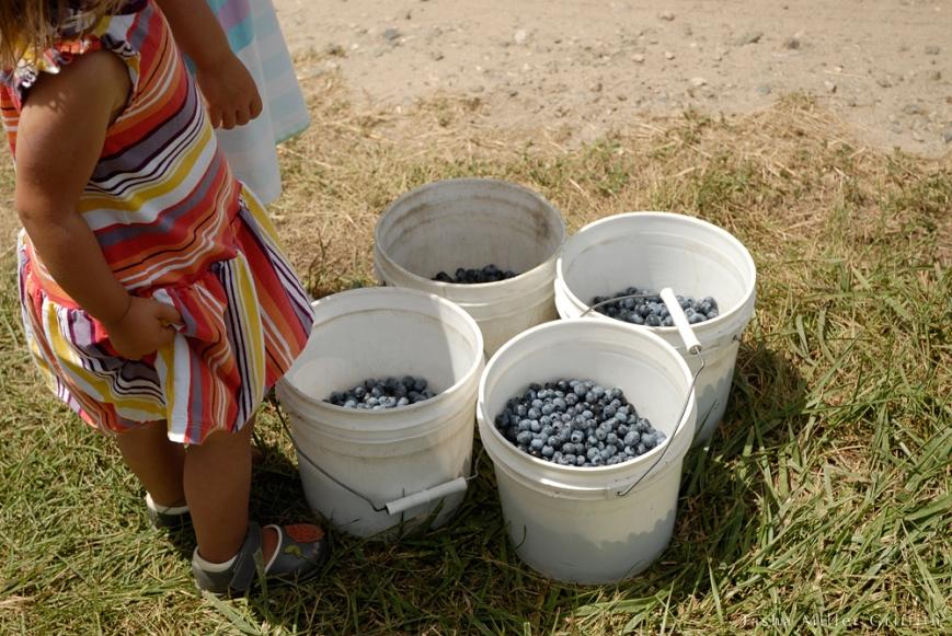 blueberry picking buckets
