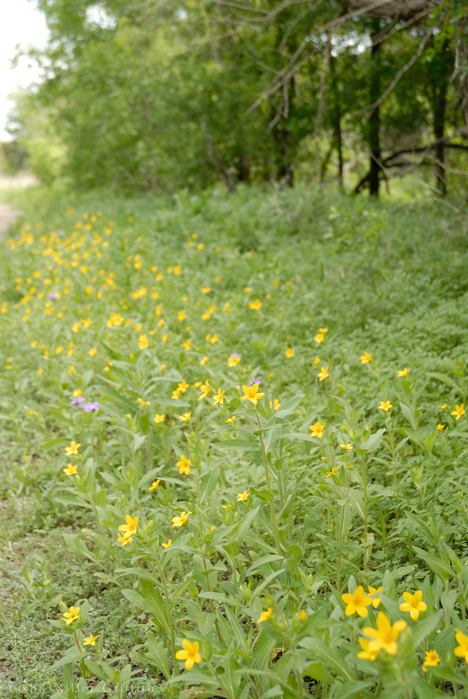 wildflowers texas spring 2014 10