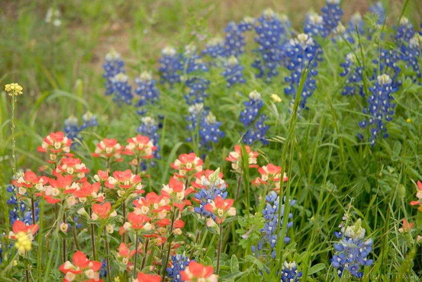 wildflowers texas spring 2014 2