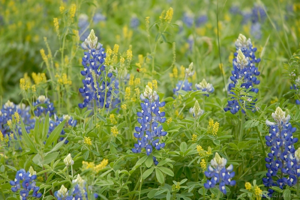 wildflowers texas spring 2014 3