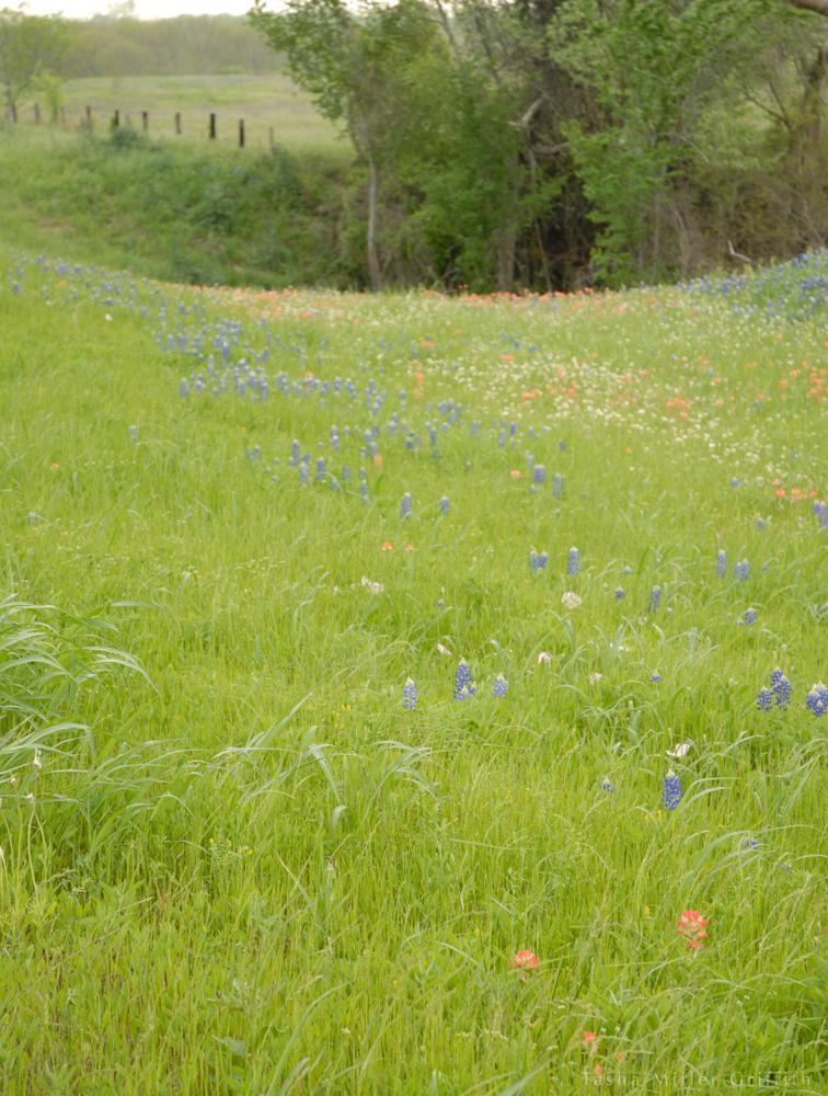 wildflowers texas spring 2014 4