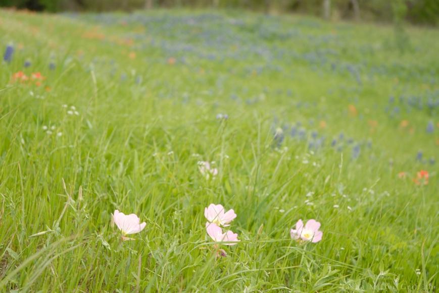 wildflowers texas spring 2014 5