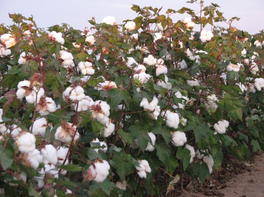 TOCMC cotton 3